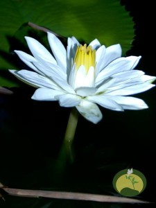 lotusflowerGSJ