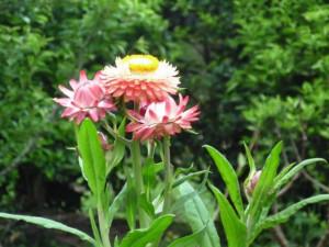 Flower Visconde Maua