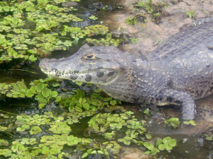 green-stone-journeys-wellness-tours-brazil-pantanal-nature-caiman