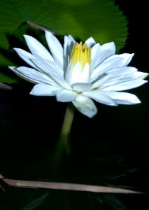 Lotus Flower Green Stone Journeys Wellness Tours Brazil Rio de Janeiro