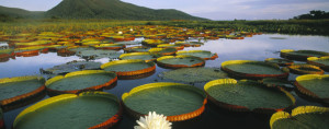Water Lily Pantanal Adventure Green Stone Journeys