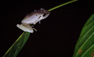frog_Amazon_Peru