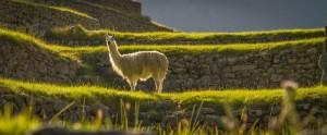 llama_sacredvalley_peru