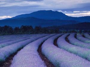 purple-fields-ludwig_1490_600x450